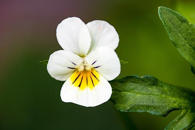 Wild Pansy, Viola Tricolor, Arable Violets