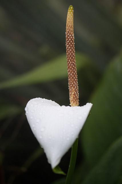Flamingo Flower, Anthurium, Tribus Anthurieae, Araceae