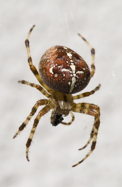 Garden Spider, Arachnid, Close, Spider, Nature, Brown