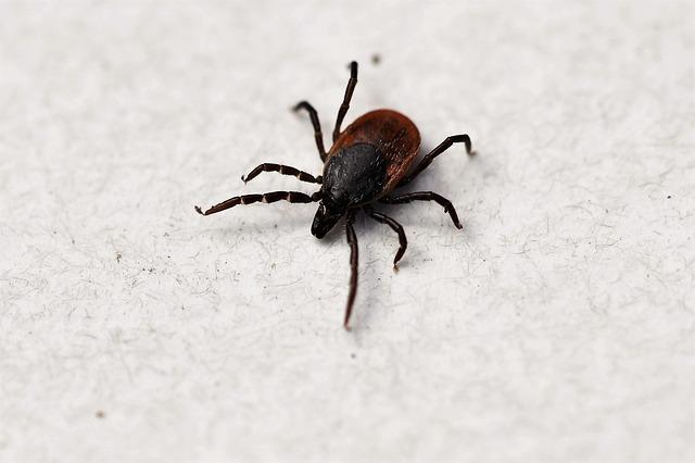 Ixodes Ricinus, Tick, Shield Tick, Arachnid