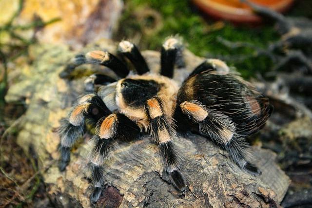 Tarantula, Spider, Arachnophobia, Hairy, Insect, Close
