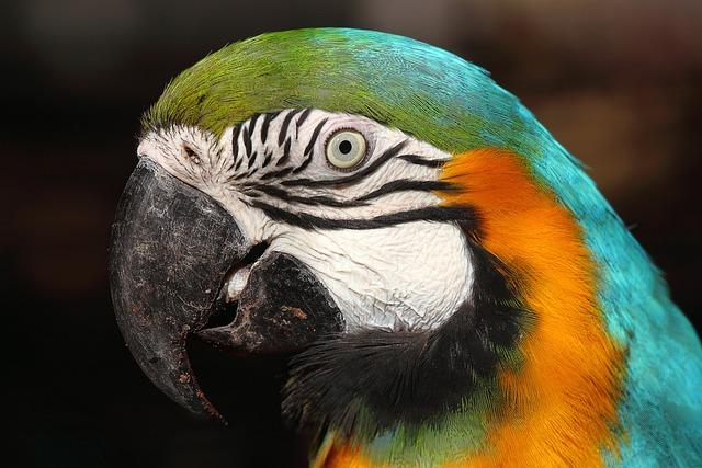 Arara Canindé, Lisbon Zoo, Portugal