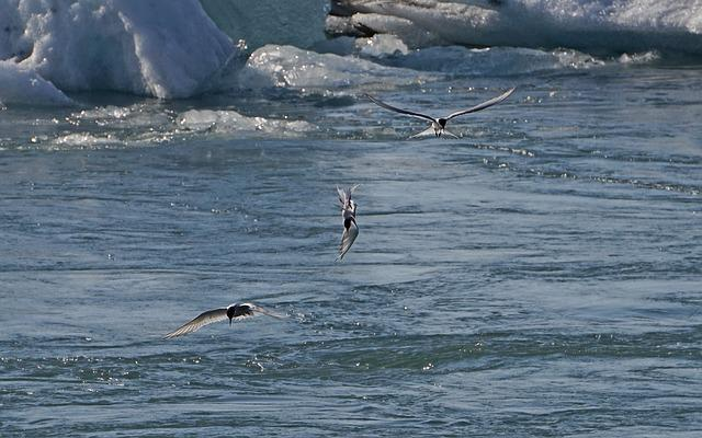 Glacial Lake, Birds, Hunt, Fish, Arctic Tern, Iceland