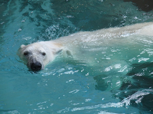 Polar Bear, Zoo, Bear, Water, Wildlife, Arctic, Fur