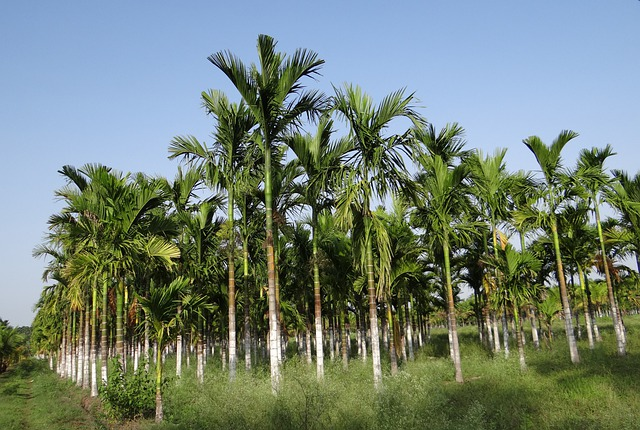 Plantation, Areca Nut, Areca Palm, Areca Catechu