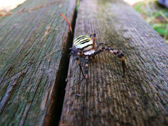 Spider, Wasp Spider, Argiope Bruennichi, Animal