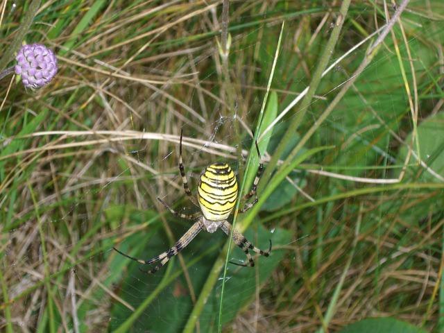 Wasp Spider, Spider, Argiope Bruennichi, Zebraspinne