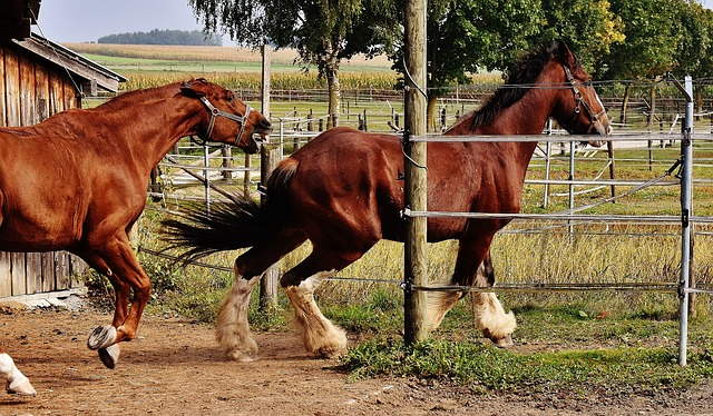 Shire Horse, Horses, Race, Hunt, Argue, Big Horse, Ride