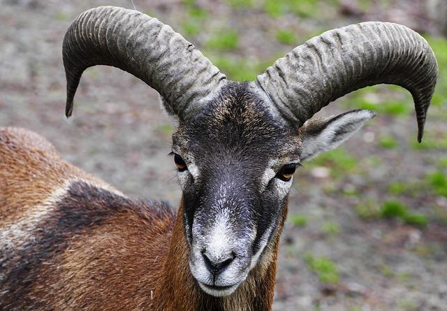 Aries, Mouflon, Horns, Portrait, Wild Sheep