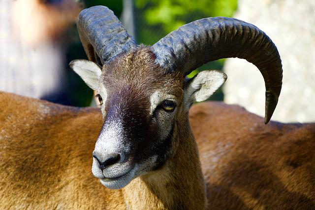 Nature, Animals, Mountain Animals, Mouflon, Aries