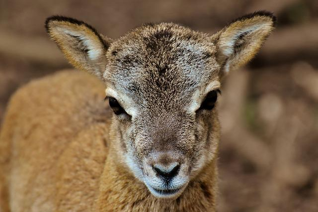 Mouflon, Young Animal, Aries, Wild Animal