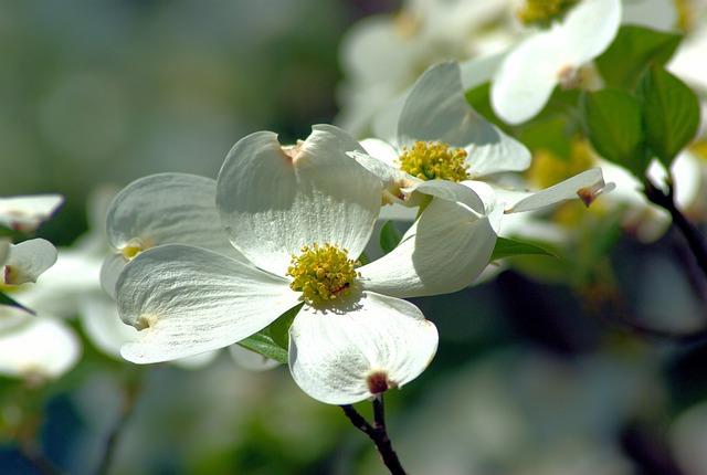 Arkansas Dogwood Blossoms, Dogwood, Flowers, Spring