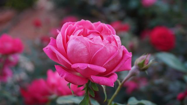 A Rose, Romance, Beauty, Aroma, Pink, Bloom, Pink Roses