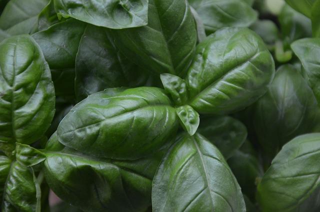 Basil, Plant, Aromatic