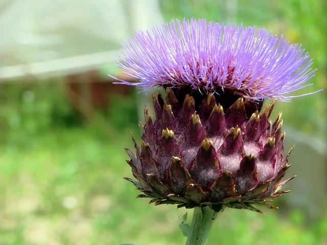 Artichoke, Flower, Violet, Vegetable, Garden, Plant