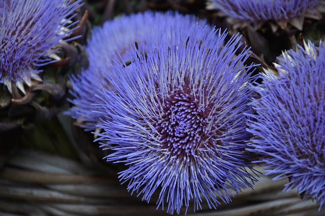 Artichoke Flower, Artichokes, Purple, Flower, Nature