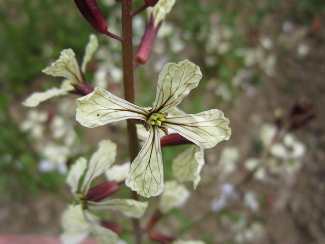 Rocket, Arugula, Rocket Flower, Blossom, Bloom, White