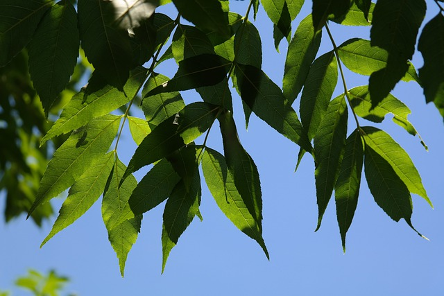 Leaves, Green, Tree, Ash, Common Ash, Ordinary Ash