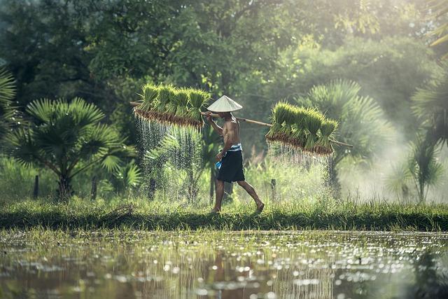 Agriculture, Rice, Harvesting, Asia, Cambodia, Grain
