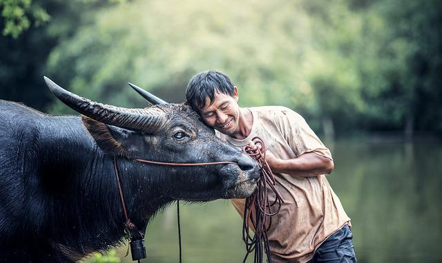 Animals, Men's, Agriculture, In The Country, Asia, Beef