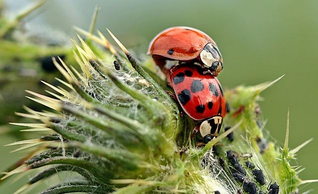 Ladybug, Asian Ladybug, Harmonia Axyridis, Pairing