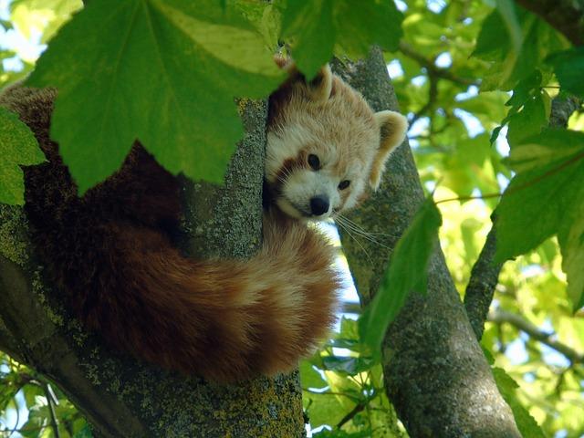 Red, Panda, Animal, Mammal, Wildlife, Asian, Nature