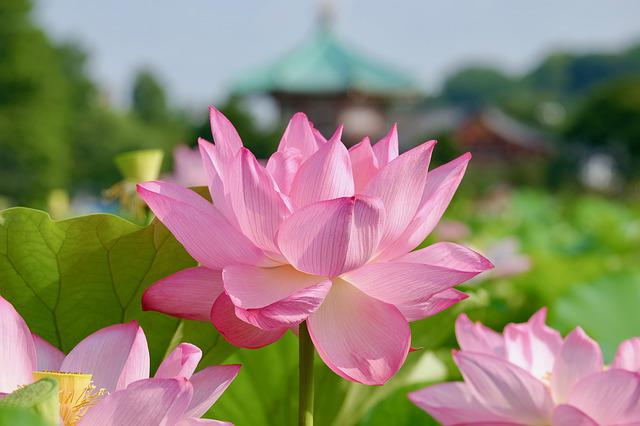 Lotus, Flower, Temple, Summer, Asian