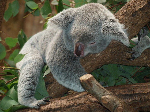 Koala, Animal, Sleeping, Asleep, Koala Bear, Mammal