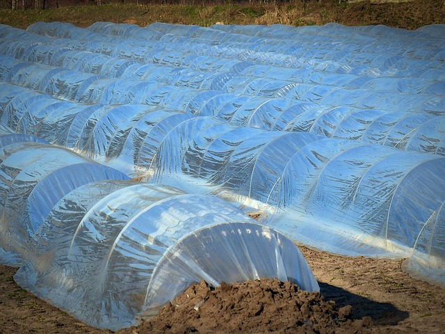 Asparagus, Asparagus Cultivation, Agriculture