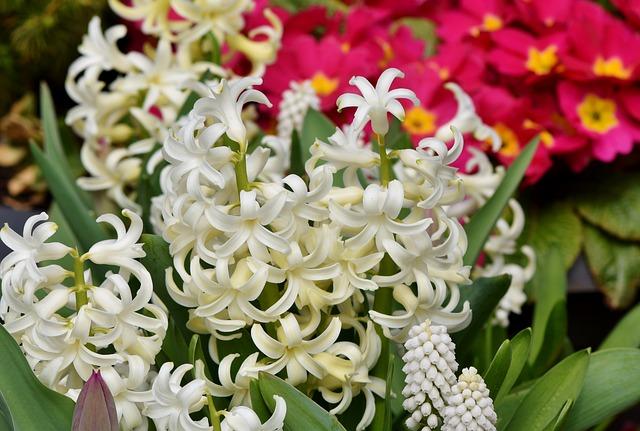Hyacinth, Flowers, Spring Flower, Asparagus Plant
