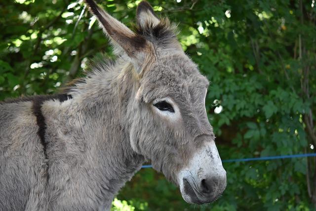 Donkey, Ass Gutter, Ass Croix Saint André, Equines