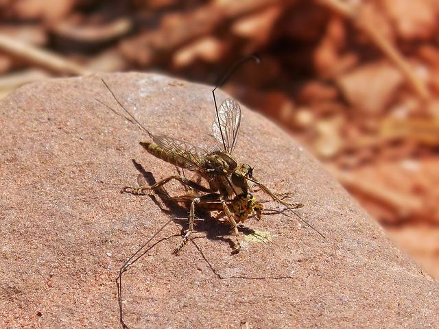 Asílido, Assilidae, Fly Salteadora, Fly Predatory