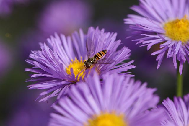 Flower, Hoverfly, Pollination, Insect, Nectar, Aster