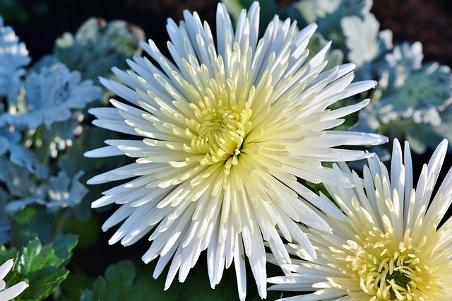 Aster, White Aster, Bloom, Blossom, Bloom, Flower