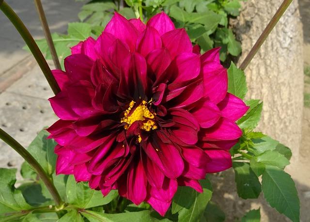 Flower, Dahlia, Decorative Dahlia, Asteraceae, Delhi