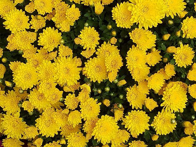 Free photo yellow chrysanthemums fall flowers nature max pixel autumn chrysanthemum flowers asteraceae mightylinksfo