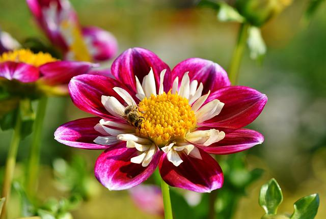 Zinnia, Composites, Asteraceae, Colorful, Summer Flower