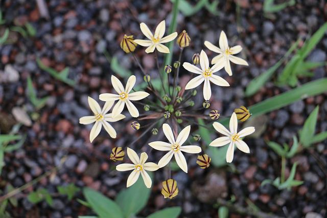 Blossom, Bloom, Asterisk, Allium, Nature, Flowers