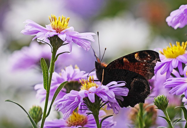Asters, Butterfly, Peacock Butterfly, Flowers, Purple