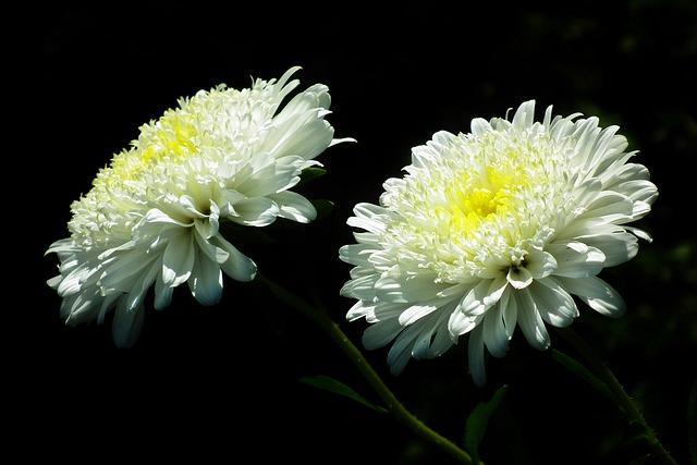 Flowers, Astra, White, Garden, Summer, Nature, Closeup