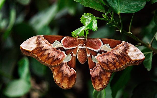 Atlas Moth, Butterfly, Attacus Atlas, Moth