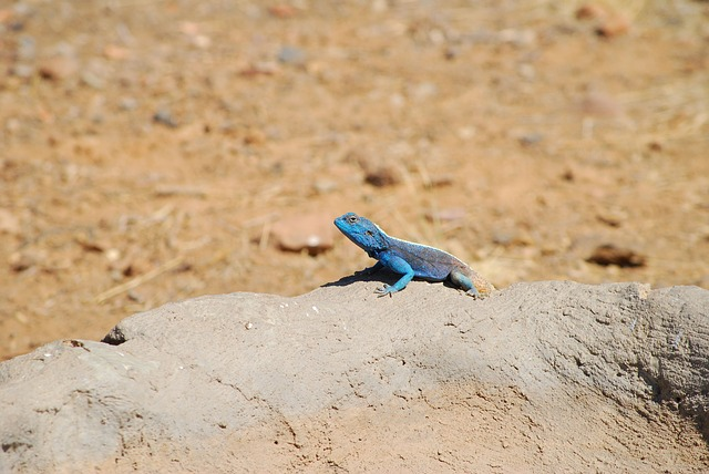 Lizard, Agame, Africa, Blue, Emerald, Gecko, Attention