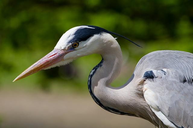 Heron, Grey Heron, Eye, Bird, Attention