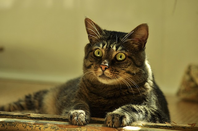 Cat, Surprise, Attention, Striped, Sunny, Eyes, Lie