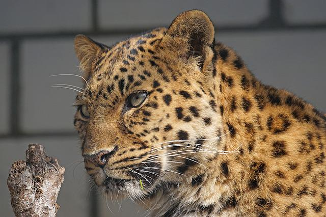 Amur, Leopard, Close, Cat, Attention, Predator