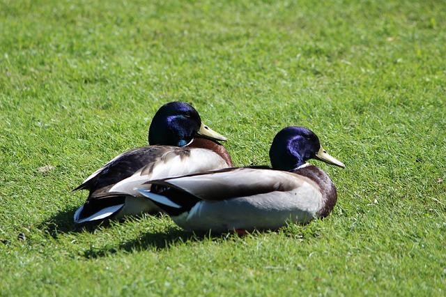 Duck, Animals, Fly, Feather, Park, Plant, Aue, Meadow