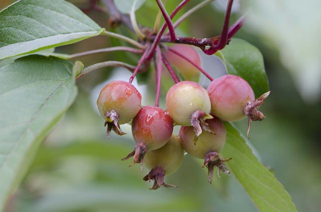Crab Apples, August, Apples