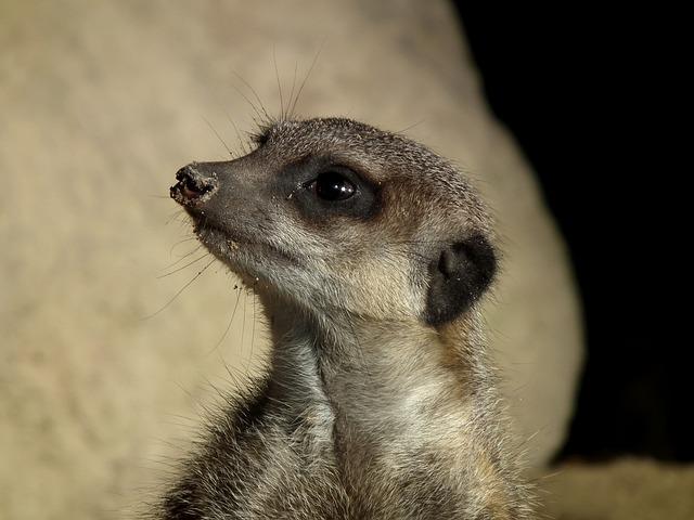 Meerkat, Meercat, Scharrtier, Mongoose, Ausschau