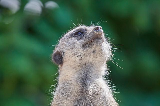 Meerkat, Ausschau, Guard, Curious, Zoo