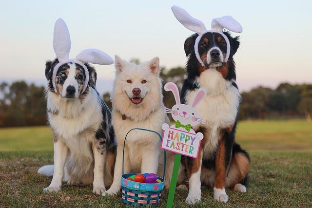 Australian Shepherd, Aussie, Shepherd, Blue Merle